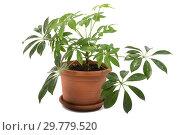 Купить «Шеффлера Schefflera arboricola на белом фоне», фото № 29779520, снято 16 ноября 2018 г. (c) Юлия Бабкина / Фотобанк Лори