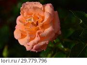 Купить «Роза чайно-гибридная Британия (FRYcalm, Daybreaker, Rochemenier Village), (лат. Rosa Britannia). Fryer's Roses, Англия 1998», эксклюзивное фото № 29779796, снято 16 августа 2015 г. (c) lana1501 / Фотобанк Лори