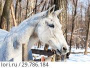 Купить «Head of a beautiful white horse at the farm in winter sunny day», фото № 29786184, снято 11 марта 2018 г. (c) FotograFF / Фотобанк Лори