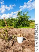 Купить «Freshly dug potatoes in metal bucket and shovel at the vegetable garden in sunny day», фото № 29786208, снято 20 августа 2014 г. (c) FotograFF / Фотобанк Лори