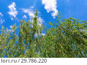 Купить «Birch tree branches against the blue sky in springtime», фото № 29786220, снято 9 мая 2018 г. (c) FotograFF / Фотобанк Лори