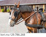 Купить «Beautiful chestnut horse in harness», фото № 29786268, снято 11 июня 2018 г. (c) FotograFF / Фотобанк Лори