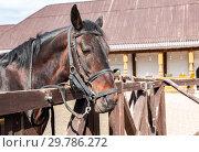 Купить «Head of a beautiful chestnut stallion», фото № 29786272, снято 11 июня 2018 г. (c) FotograFF / Фотобанк Лори