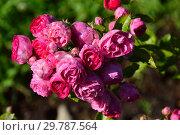 Купить «Роза полиантовая  Энфант д'Орлеанз (лат. Rosa Enfant d'Orleans). Eugène Turbat & Compagnie, Франция 1929», эксклюзивное фото № 29787564, снято 24 августа 2015 г. (c) lana1501 / Фотобанк Лори