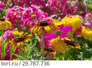 Купить «Желтая рудбекия (лат.Rudbeckiа) с пчелой на фоне садовых цветов», фото № 29787736, снято 10 августа 2018 г. (c) Елена Коромыслова / Фотобанк Лори