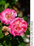 Купить «Роза кустарниковая (шраб) Джой Аморина (лат. Rosa Joy Amorina). De Ruiter Innovations B.V., Нидерланды», эксклюзивное фото № 29787832, снято 24 августа 2015 г. (c) lana1501 / Фотобанк Лори