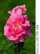 Купить «Роза флорибунда Сантэнер дэ Лурд (Сантенэр де Лурдес, (DELge, Mrs. Jones), (Centenaire de Lourdes). Delbard-Chabert, Франция 1958», эксклюзивное фото № 29795184, снято 7 августа 2015 г. (c) lana1501 / Фотобанк Лори