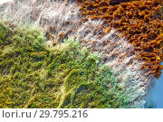 Купить «Зелёный плесневой грибок на поверхности ржаного хлеба», фото № 29795216, снято 27 января 2019 г. (c) Евгений Мухортов / Фотобанк Лори