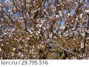 Купить «цветущий миндаль, Гран Канария, январь», фото № 29795516, снято 19 января 2019 г. (c) Tamara Kulikova / Фотобанк Лори