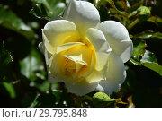 Купить «Роза флорибунда Даймонд Дэйз Форэвэ (Даймонд Дейз Фореве, Fryjess), (лат. Rosa Diamond Days Forever). Fryer's Roses, Великобритания 2006», эксклюзивное фото № 29795848, снято 4 августа 2015 г. (c) lana1501 / Фотобанк Лори