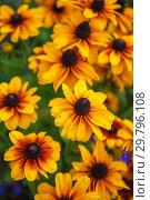 Купить «Field of yellow flowers of orange coneflower also called rudbeckia», фото № 29796108, снято 16 сентября 2018 г. (c) Jan Jack Russo Media / Фотобанк Лори