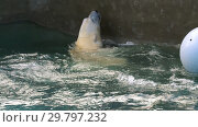 Купить «Polar bear playing in water», видеоролик № 29797232, снято 31 октября 2018 г. (c) Игорь Жоров / Фотобанк Лори
