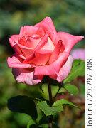 Купить «Роза чайно-гибридная Биг Эппл (Barbiga), (лат. Big Apple). Jackson & Perkins, США 2003», эксклюзивное фото № 29797708, снято 4 августа 2015 г. (c) lana1501 / Фотобанк Лори