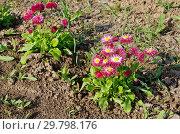 Купить «Красные маргаритки (лат. Bellis perennis) цветут в саду», фото № 29798176, снято 22 мая 2018 г. (c) Елена Коромыслова / Фотобанк Лори
