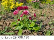 Купить «Красные маргаритки многолетние (лат. Bellis perennis) цветут в саду», фото № 29798180, снято 22 мая 2018 г. (c) Елена Коромыслова / Фотобанк Лори