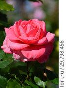 Купить «Роза чайно-гибридная Артур Рембо (Артур Рэмбо, Meihylvol), (лат. Rosa Arthur Rimbaud). Meilland (Мейян), France 2008», эксклюзивное фото № 29798456, снято 4 августа 2015 г. (c) lana1501 / Фотобанк Лори