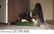 Купить «Dog Papillon eats fresh green cucumber with appetite footage video», видеоролик № 29799456, снято 21 января 2019 г. (c) Юлия Машкова / Фотобанк Лори