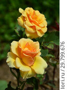 Купить «Роза флорибунда Анна Харкнес (HARkaramel, Ann Harkness), (лат. Rosa Anne Harkness). Harkness Roses, Великобритания 1980», эксклюзивное фото № 29799676, снято 7 августа 2015 г. (c) lana1501 / Фотобанк Лори