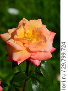 Купить «Роза чайно-гибридная Фрохсинн 82 (Фрозинн, TANsinnroh, Peccato di Giola, Joyfulness, Frohsinn), (лат. Frohsinn). Rosen Tantau, Германия 1982», эксклюзивное фото № 29799724, снято 7 августа 2015 г. (c) lana1501 / Фотобанк Лори
