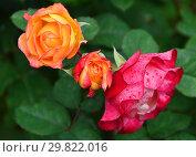 Роза кустарниковая (шраб) Марсель ан Флёрс (Марсэй ан Флёр, MASmarfle), (лат. Marseille en Fleurs). Petales de Roses. Massad, Франция 2009. Стоковое фото, фотограф lana1501 / Фотобанк Лори