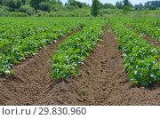 Купить «Растущий картофель на поле летним днем», фото № 29830960, снято 27 июня 2018 г. (c) Елена Коромыслова / Фотобанк Лори