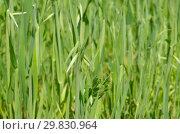 Купить «Растущий зеленый овес на поле», фото № 29830964, снято 27 июня 2018 г. (c) Елена Коромыслова / Фотобанк Лори
