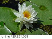 Купить «Многолетнее водное растение Кувшинка белая (Нимфея), (лат. Nymphaea alba)», эксклюзивное фото № 29831068, снято 6 августа 2015 г. (c) lana1501 / Фотобанк Лори