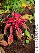 Купить «Однолетнее лекарственное растение Амарант, или Щирица (лат. Amaranthus)», эксклюзивное фото № 29831072, снято 6 августа 2015 г. (c) lana1501 / Фотобанк Лори