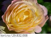 Купить «Роза чайно-гибридная Глория Дэй (Глория Дей, Глория Дей Пис, Мадам А. Мейян, Мадам Мэйян, Mme Antoine Meilland, Beke, Fredsrosen, M-me A. Meilland), (лат. Peace, Gloria Dei). Meilland Roses, France 1945», эксклюзивное фото № 29832008, снято 31 августа 2015 г. (c) lana1501 / Фотобанк Лори