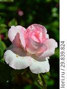 Купить «Роза чайно-гибридная Гран Сьекль (Гран Сикл, DELegran, Great Century), (лат. Rosa Grand Siecle), Delbard-Chabert, Франция 1977», эксклюзивное фото № 29839824, снято 4 августа 2015 г. (c) lana1501 / Фотобанк Лори