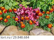 Купить «Бегония вечноцветущая (лат. Begonia semperflorens) и бархатцы (лат. Tagetes) на клумбе в летнем саду», фото № 29848684, снято 21 августа 2017 г. (c) Елена Коромыслова / Фотобанк Лори