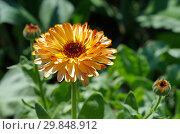 Купить «Цветок календулы (лат. Calendula officinalis) крупным планом», фото № 29848912, снято 27 июня 2018 г. (c) Елена Коромыслова / Фотобанк Лори