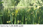 Купить «Iris pseudacorus yellow flag, yellow iris, water flag, lever is a species in the genus Iris, of the family Iridaceae on the bank of the lake in sunny day», видеоролик № 29849220, снято 29 января 2009 г. (c) Куликов Константин / Фотобанк Лори