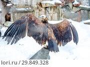 Купить «Черный гриф», фото № 29849328, снято 22 февраля 2017 г. (c) Галина Савина / Фотобанк Лори