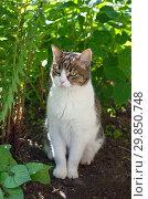 Купить «Кот в летнем саду», фото № 29850748, снято 28 июня 2018 г. (c) Елена Коромыслова / Фотобанк Лори