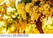 Купить «Ripe bunches of green grapes hanging», фото № 29850820, снято 17 февраля 2020 г. (c) Татьяна Яцевич / Фотобанк Лори