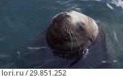 Купить «Портрет сивуча в воде», видеоролик № 29851252, снято 4 февраля 2019 г. (c) А. А. Пирагис / Фотобанк Лори