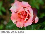 Купить «Роза чайно-гибридная Тип Тойс (лат. Rosa Tip Toes). H.C.Brownell (Браунелл). United States (США) 1948», эксклюзивное фото № 29874156, снято 14 августа 2015 г. (c) lana1501 / Фотобанк Лори