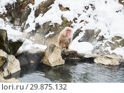 Купить «japanese macaque or snow monkey in hot spring», фото № 29875132, снято 8 февраля 2018 г. (c) Syda Productions / Фотобанк Лори