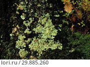 Купить «Parmelia Subrudecta, Lichen, Italy», фото № 29885260, снято 24 февраля 2019 г. (c) age Fotostock / Фотобанк Лори