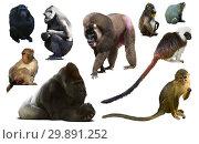 Купить «primates isolated on white», фото № 29891252, снято 23 апреля 2019 г. (c) Яков Филимонов / Фотобанк Лори