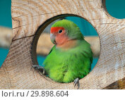 Купить «Lilian's lovebird green exotic parrot bird», фото № 29898604, снято 29 сентября 2018 г. (c) Михаил Коханчиков / Фотобанк Лори