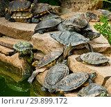 Купить «Red-Eared Slider Turtles», фото № 29899172, снято 19 июля 2017 г. (c) Наталья Двухимённая / Фотобанк Лори
