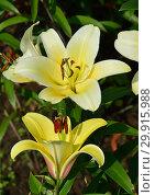 Купить «Лилия От-гибрид Форевер (Lilium OT-hybrids Forever)», эксклюзивное фото № 29915988, снято 27 июля 2015 г. (c) lana1501 / Фотобанк Лори