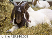 Купить «Коза. Бурская порода.», фото № 29916008, снято 6 февраля 2019 г. (c) Галина Савина / Фотобанк Лори