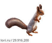Купить «A red-haired european squirrel stands on its hind legs. Isolated on the white background», фото № 29916200, снято 20 октября 2012 г. (c) Наталья Волкова / Фотобанк Лори