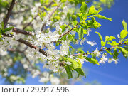 Купить «Spring natural background. Branch of blossoming cherry against the blue sky», фото № 29917596, снято 15 мая 2018 г. (c) Юлия Бабкина / Фотобанк Лори