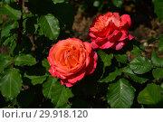 Купить «Роза кустарниковая (шраб) Эмильен Гийо (Masemgui), (лат. Emilien Guillot). Guillot- Massada (Гийо-Массада), Франция 2001», эксклюзивное фото № 29918120, снято 14 июня 2015 г. (c) lana1501 / Фотобанк Лори