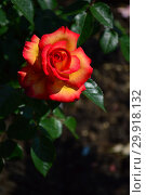 Купить «Роза чайно-гибридная Роксан (лат. Roxane), Laperriere (Лаперье). Франция, 1990», эксклюзивное фото № 29918132, снято 14 июня 2015 г. (c) lana1501 / Фотобанк Лори