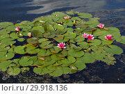 Купить «Многолетнее водное растение Кувшинка четырехгранная (лат. Nymphaea tetragona). Травинское озеро в Пушкино Московской области», эксклюзивное фото № 29918136, снято 18 июня 2015 г. (c) lana1501 / Фотобанк Лори
